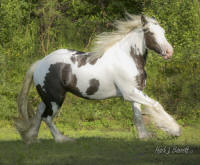 The King's Morning Glory, 2012 Gypsy Vanner Horse filly