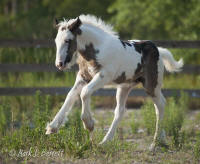 The Kings' Morning Glory, 2012 Gypsy Vanner Horse filly