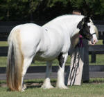 Rawnie, Gypsy Vanner Horse mare in FL